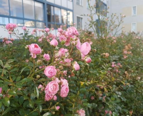 Många rosor pryder trädgården långt in på hösten!
